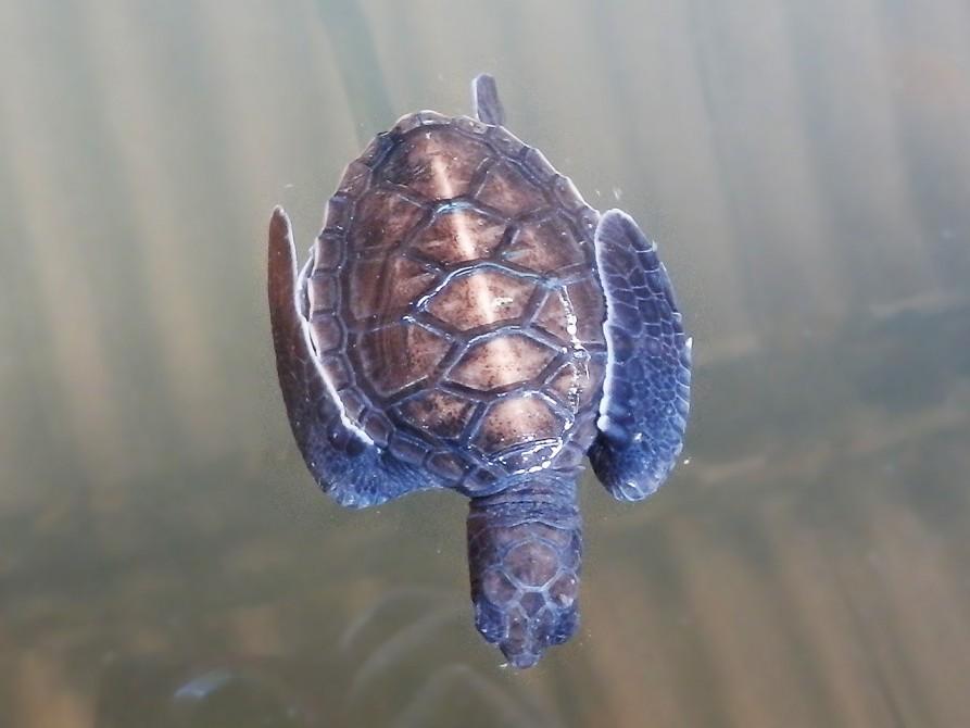 生後1周間のウミガメ